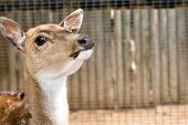 stock photo of deer head  - a nice small young deer with its head raised back watching the camera - JPG