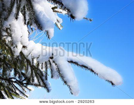 Snow On A Pine Tree