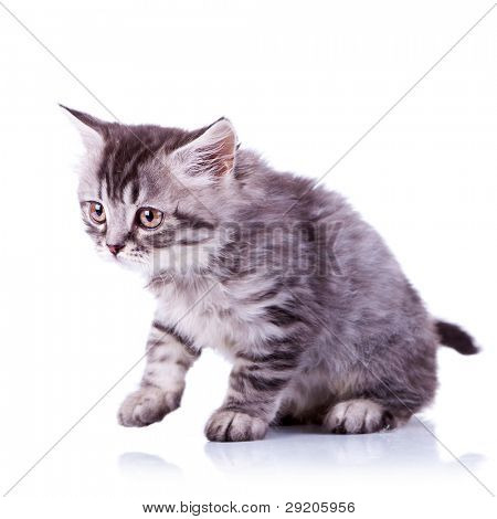 cute baby tabby cat getting ready for a walk on white background
