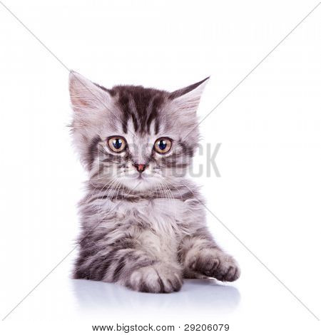 portrait of an adorable silver tabby cat on white background