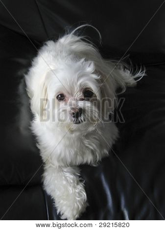 Maltese Dog on Leather Couch