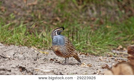Colorful Quail Walking On Sandy Areas Among Grasses
