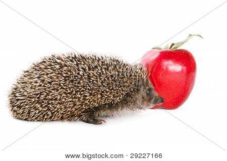 Hedgehog and apple