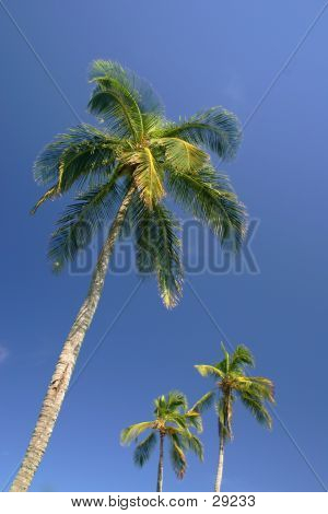 Palm Tree Trio