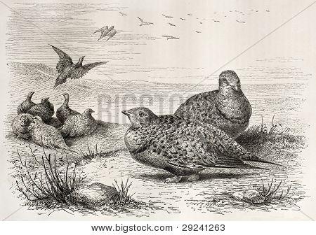 Pallas's Sandgrouse old illustration (Syrrhaptes paradoxus). Created by Beckmann, published on Merveilles de la Nature, Bailliere et fils, Paris, ca. 1878