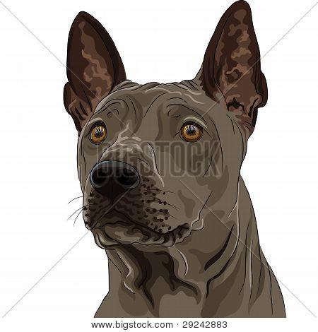 Vector Color Sketch Thai Ridgeback Dog Breed Closeup
