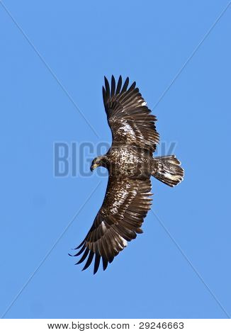 .immature Eagle In Flight