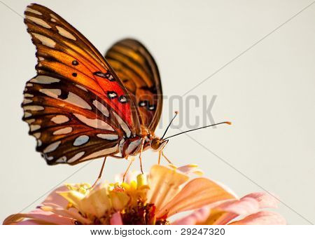 Ventral view of Agraulis vanillae, Gulf Fritillary butterfly against light background