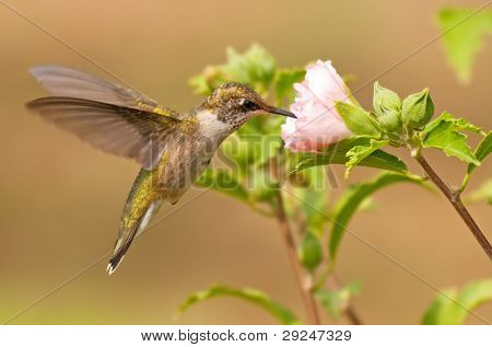 Young male Hummingbird in flight, feeding on a pink flower in fall garden