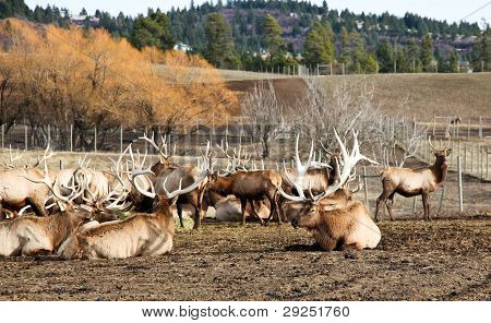 Herd Of Bull Elk