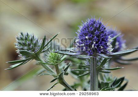 Sea Holly Blue Eryngo