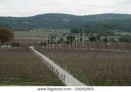 Turkish Grape field  on Autumn  using by Winery
