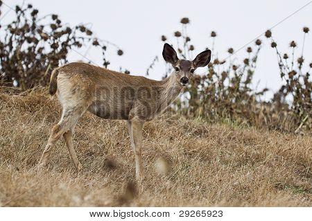 Black-tailed deer.
