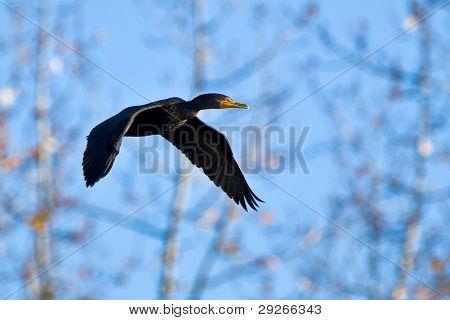 Pelagic Cormorant (Phalacrocorax pelagicus) in flight.