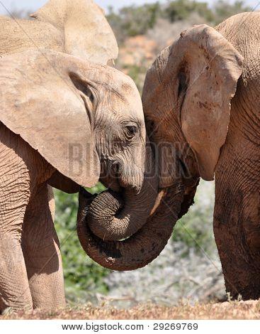 Elephants nuzzling