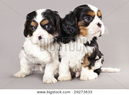Litter of Cavalier King Charles spaniel puppies on gray background