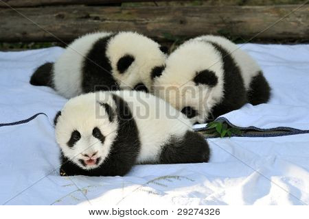 newborn pandas