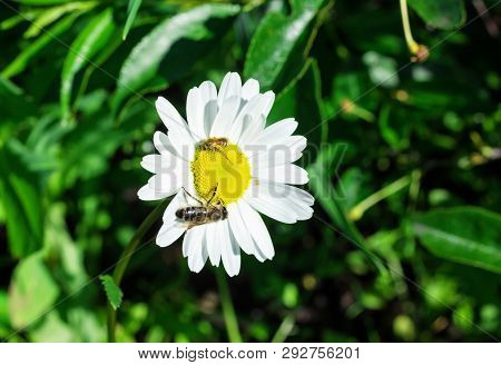 Two Bees Pollinating A Daisy