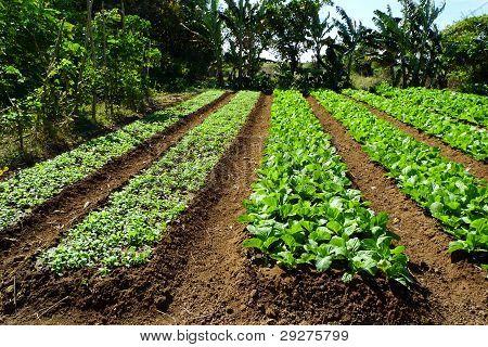 Farm of organic vegetables