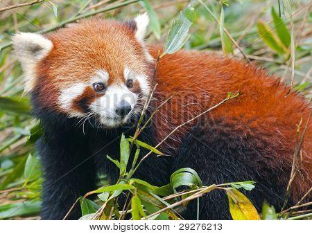 Curious Red Panda Bear