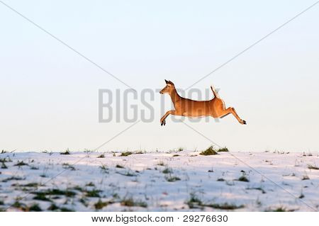 Whitetail Deer On The Run