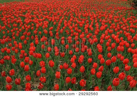 Tulipa Gesneriana Flower