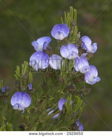Dewy Blue Pea Flowers