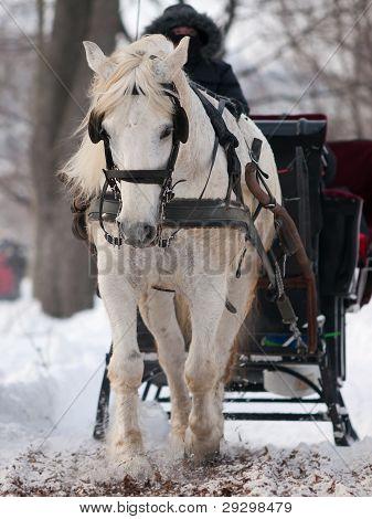 White Horse Pulling Black Sleigh In Winter