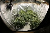 Marijuana. Growing Marijuana and Cannabis. Marijuana Grow Tent. Cannabis farm indoors.  poster