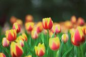 Beautiful Bouquet Of Tulips In Spring At The Garden poster