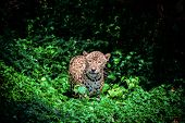 Tiger Leopard Jaguar Animal Wildlife Hunting / Beautiful Jaguar Walking In Jungle Looking Food Stalk poster