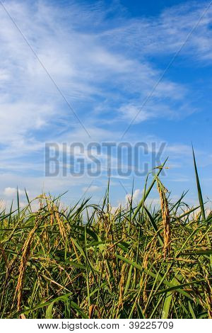Golden Fields Blue Skies