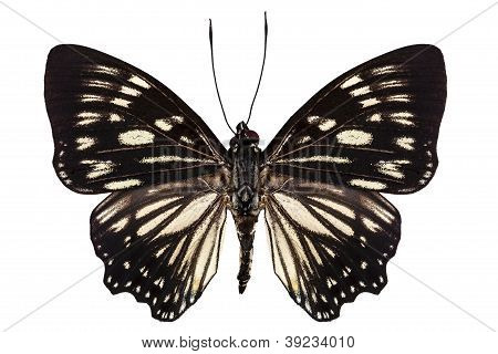 Butterfly Species Euripus Nyctelius Euploeoides