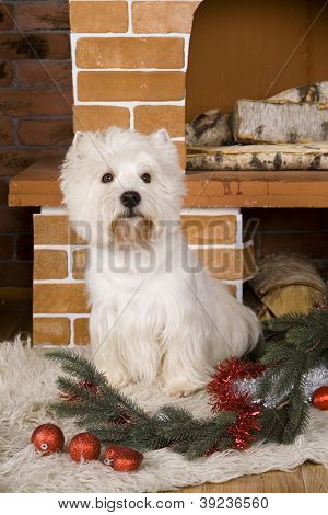 West haigland white terrier