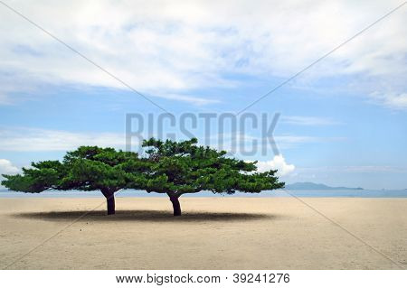 two lone korean pines at famous sondovon sea beach at North Korea