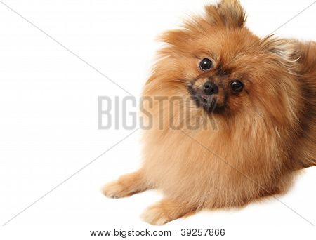 Spitz Dog Shot On A White Background