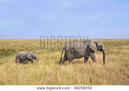 Baby Elephant With Mother Walking On Safari