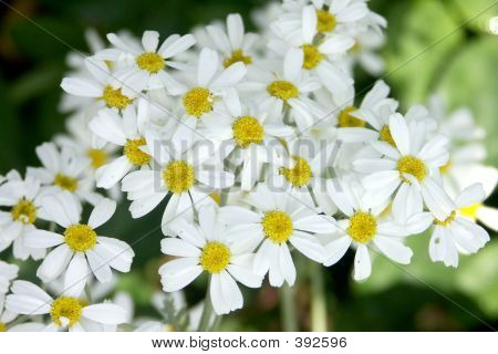 Small Daisy Clusters - Flowers
