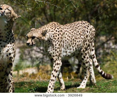 Adult Cheetahs