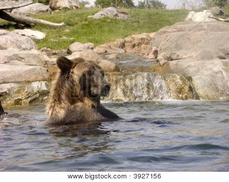 Grizzly Bear Sitting Up In Water