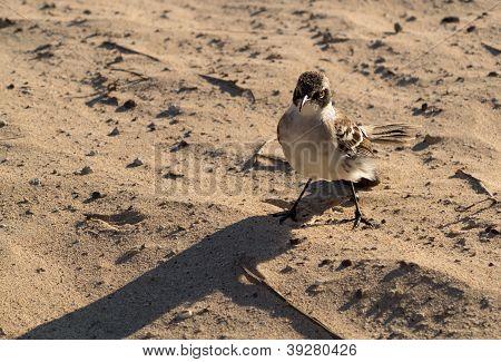 Galapagos Mockingbird On Beach In Islands