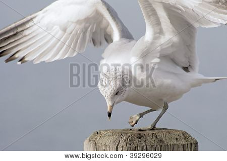 Seagull With Injured Foot