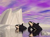stock photo of orca  - Two orcas swimming among icebergs by cloudy weather - JPG