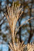 picture of pampas grass  - A tassel of pampas grass standing tall in the sunlight - JPG