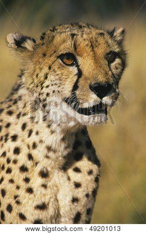 Cheetah (Acinonyx Jubatus) close-up