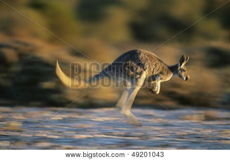 Kangaroo bouncing through desert