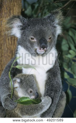 Koala baby with mother sitting in tree