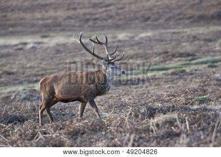 Red Deer walks in UK heathland
