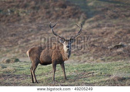 Red Deer stands in UK heathland