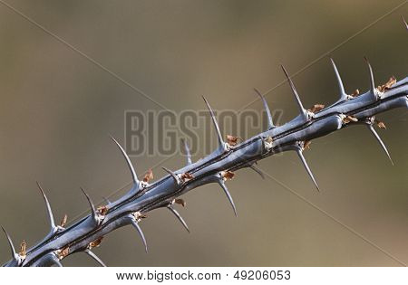 Thorny branch of Ocotillo (Fouquieria splendens) close-up